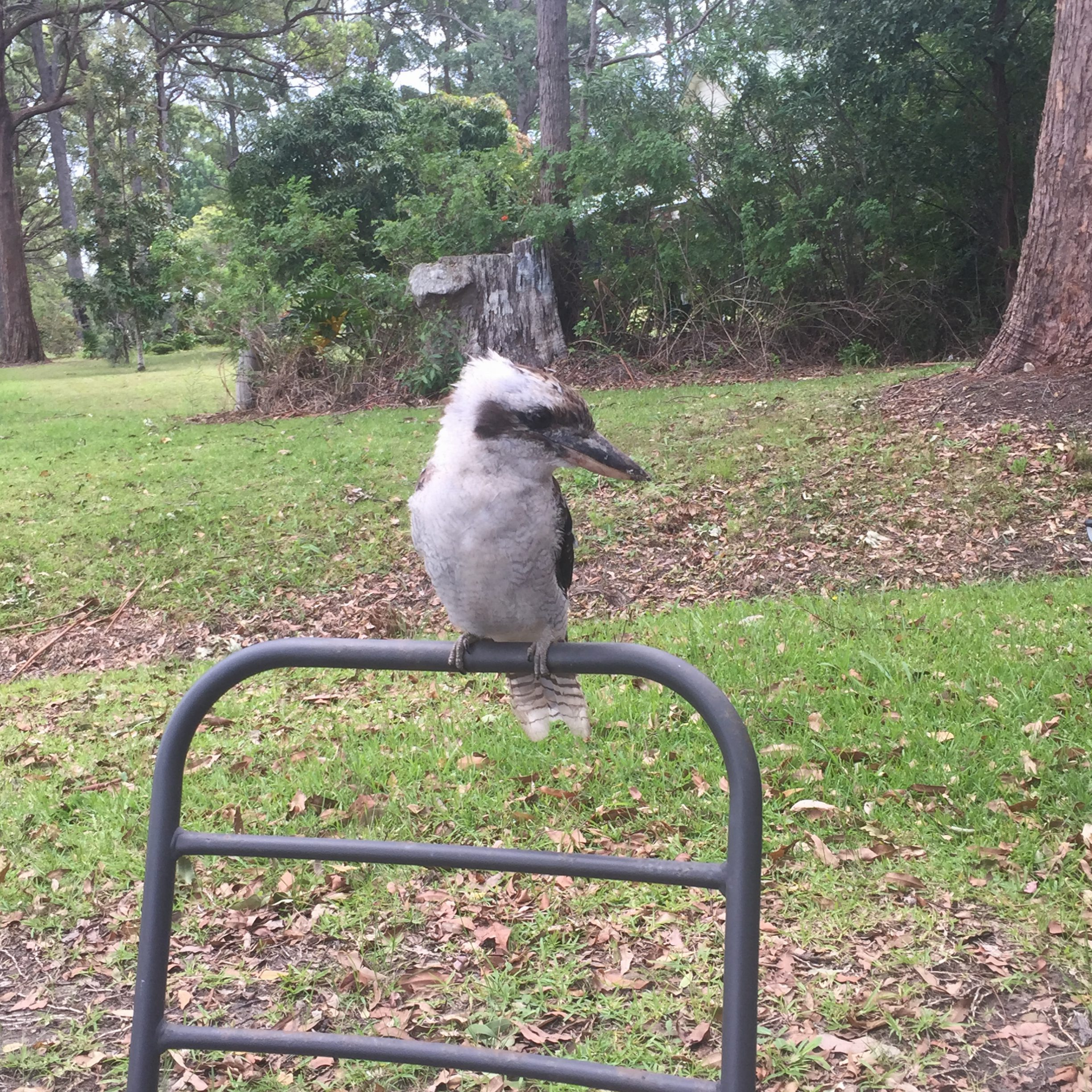 George, Our resident Kookaburra